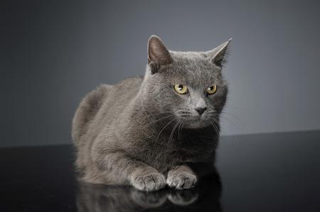 brit: Blue Brit Cat in adark studio