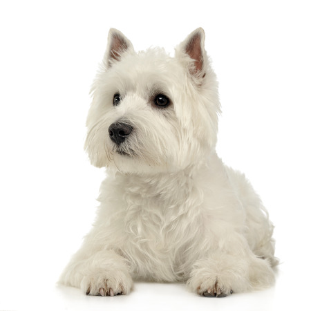 West Highland White Terrier lying on the white studio floor Stock Photo