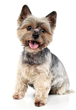 Yorkshire Terrier sitting in white studio background
