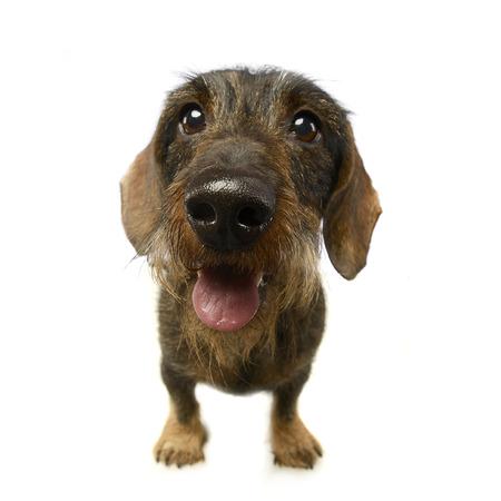 wired hair dachshund portrait a in studio