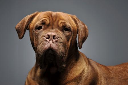 bordeaux dog: bordeaux dog portrait in a grey studio Stock Photo
