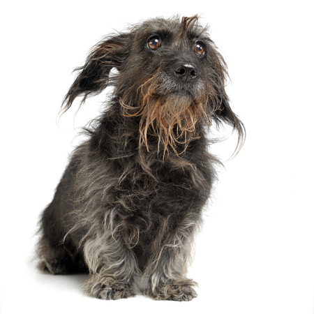 wired: wired hair mixed breed dog in a white studio