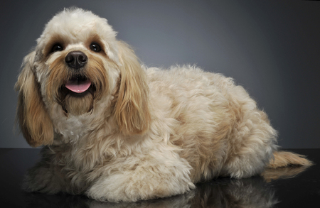 havanese: cute havanese lying in dark background studio