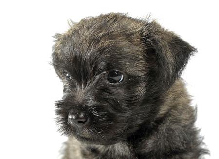 cairn: Puppy  cairn terrier portrait in studio