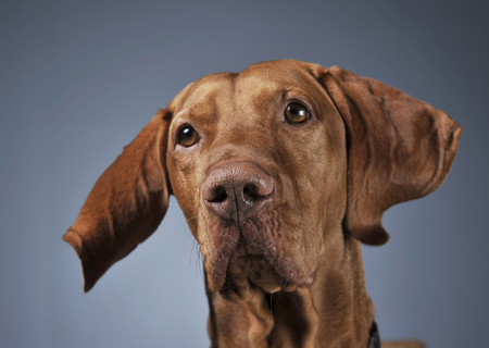 Hungarian vizsla portrait with flying ears in dark background Stock Photo