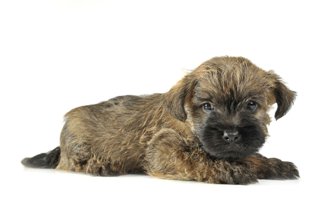 cairn: Puppy  cairn terrier lying on the floor