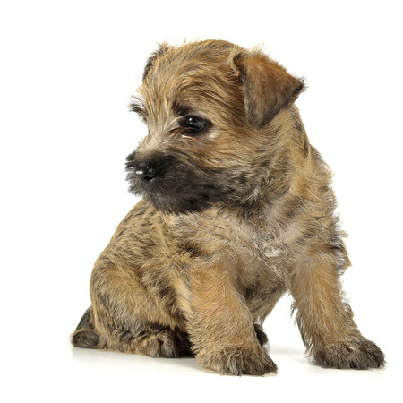 cairn: Puppy  cairn terrier sitting on the floor
