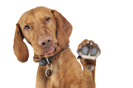 Hungarian vizsla gives you five in white background Stock Photo