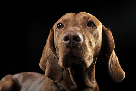 hungarian: Hungarian vizsla portrait in black background Stock Photo