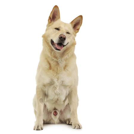 Mixed breed funny face dog sitting in white Stock Photo