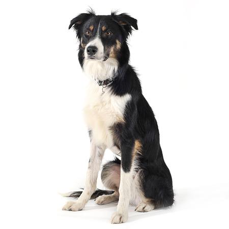 collie: border collie sitting in white studio floor