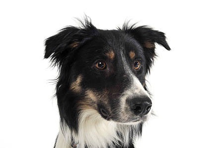 border collie portrait in white studio