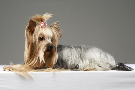 long hair yorshire terrier lying in a studio Banque d'images