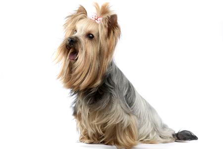 yorkshire terrier in a wehite studio
