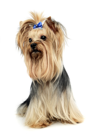 cute yorkshire terrier in a wehite studio Stock Photo