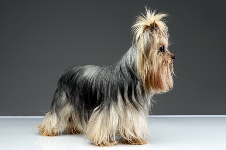 long hair yorshire terrier staying in a studio
