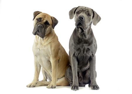 cane corso: bull mastiff and puppy cane corso sitting in a white studio floor