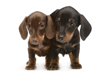 two lovely puppy dachshunds staying side by side in white studio Stock Photo