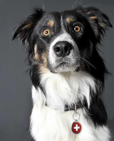 border collie: Border collie portrait in a gray studio Stock Photo