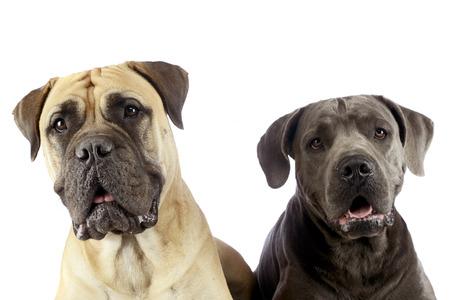 cane corso: bull mastiff and puppy cane corso portrait in a white studio