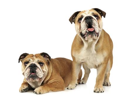 two bulldogs are  having fun in a white studio Stock Photo