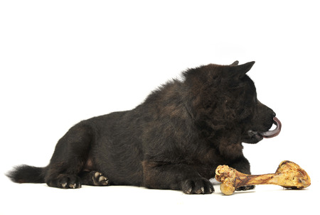 black one blind chow chow with a big bone eating in studio