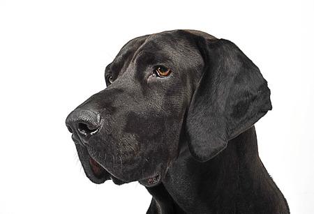 Mixed breed black dog portrait in white studio Stock Photo