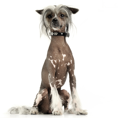 very cute chinese crested dog  sitting  in white background