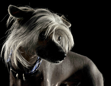 very cute chinese crested dog  portrait in black background Stock Photo