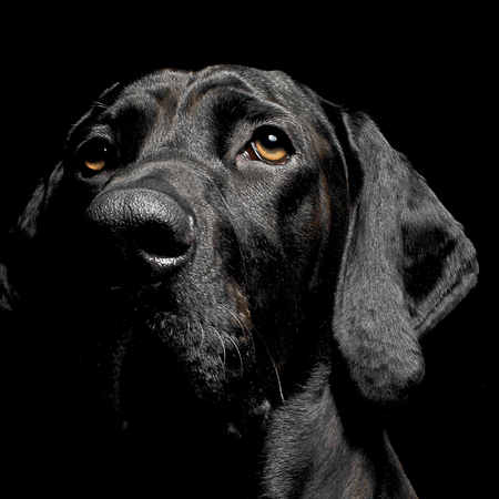 mixed breed black dog portrait in black background Stock Photo