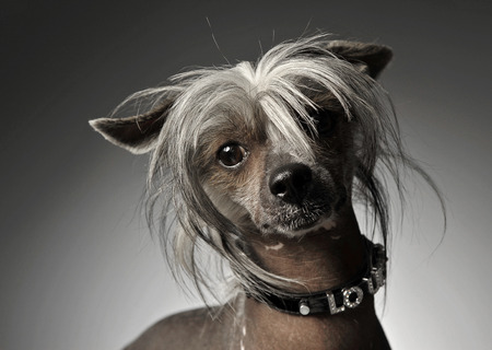 Chinese crested dog portrait in gray background Stock Photo