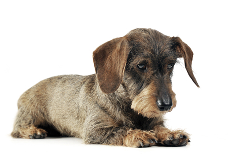 lovely dachshund relaxing in a white studio Stock Photo