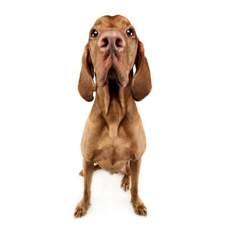 vizsla: funny hungarian vizsla with huge nose in white studio