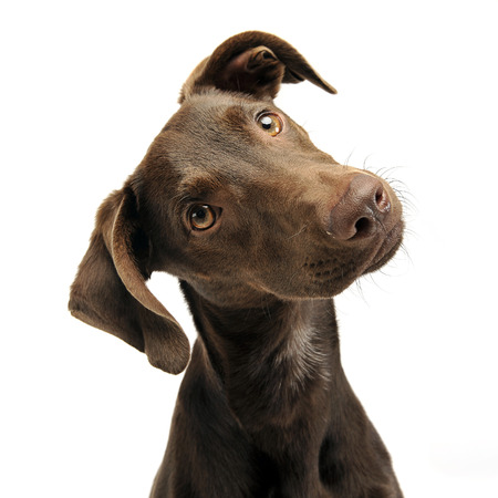 turns: beautiful flying ears mixed breed dog turns his head in white studio Stock Photo
