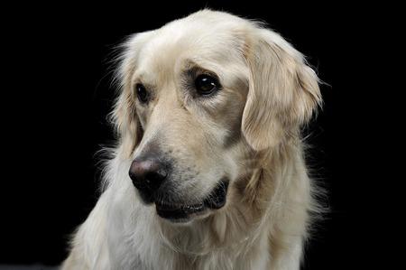 sad golden retriever portrait in a black studio