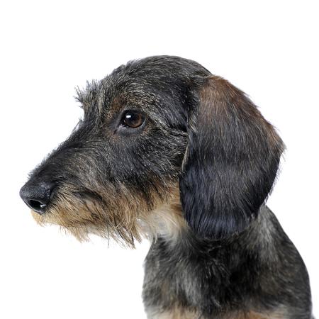 portait: sweet puppy wired hair dachshund portait in photo studio