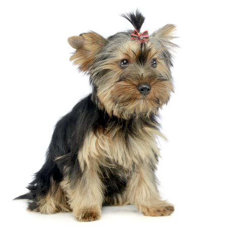 Puppy yorkhsire terrier sitting in white background Stock Photo