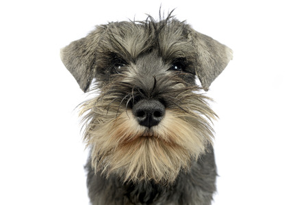 puppy schnauzer portrait in white studio