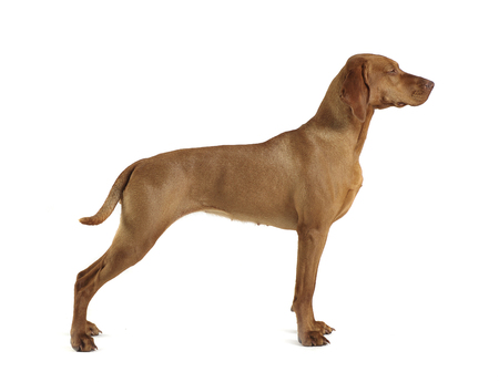 Hungarian vizsla standard in a white background