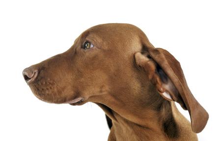puppy hungarian vizsla side portrait in white studio