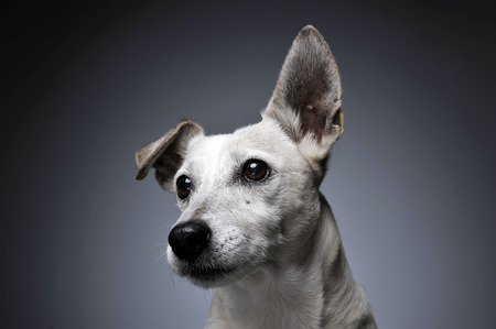 egresado: funny ears white dog portrait in graduated background