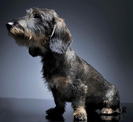 wired hair dachshund sitting in a studio