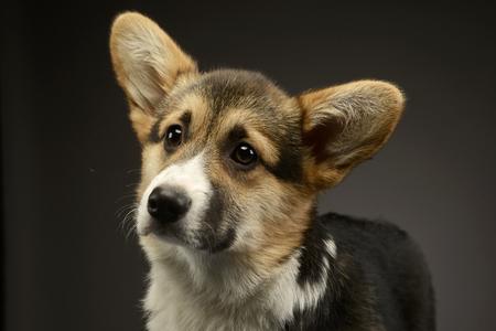 beautiful puppy corgie portrait in a dark photo studio Stock Photo
