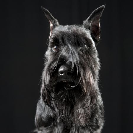 Miniature Schnauzer in a black studio background Stock Photo