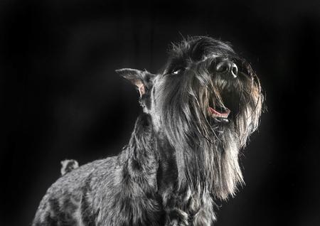 Miniature Schnauzer looking up in a black studio background