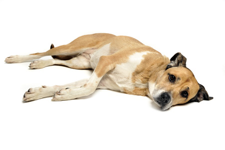 Mixed breed dog lying and looking in a white background Stock Photo