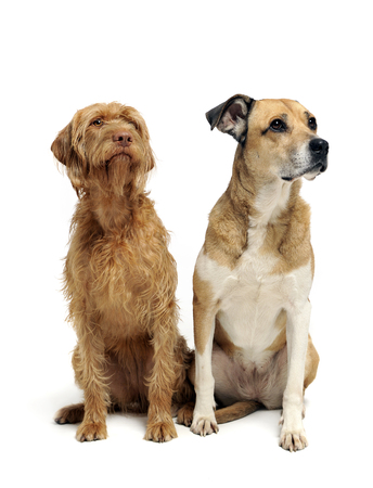 Mixed breed dog and a wired hair hungarian vizsla sitting in a white background Stock Photo