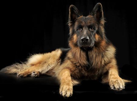 German shepherd dog relaxing in a black studio