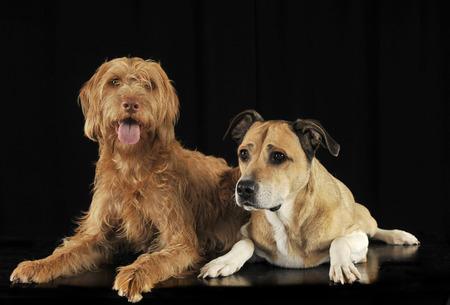 vizsla: Staffordshire Terrier and a hungarian vizsla lying in black studio Stock Photo