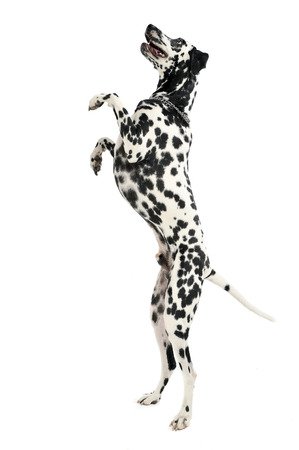cute dalmatians stand up to two legs in white background photo studio